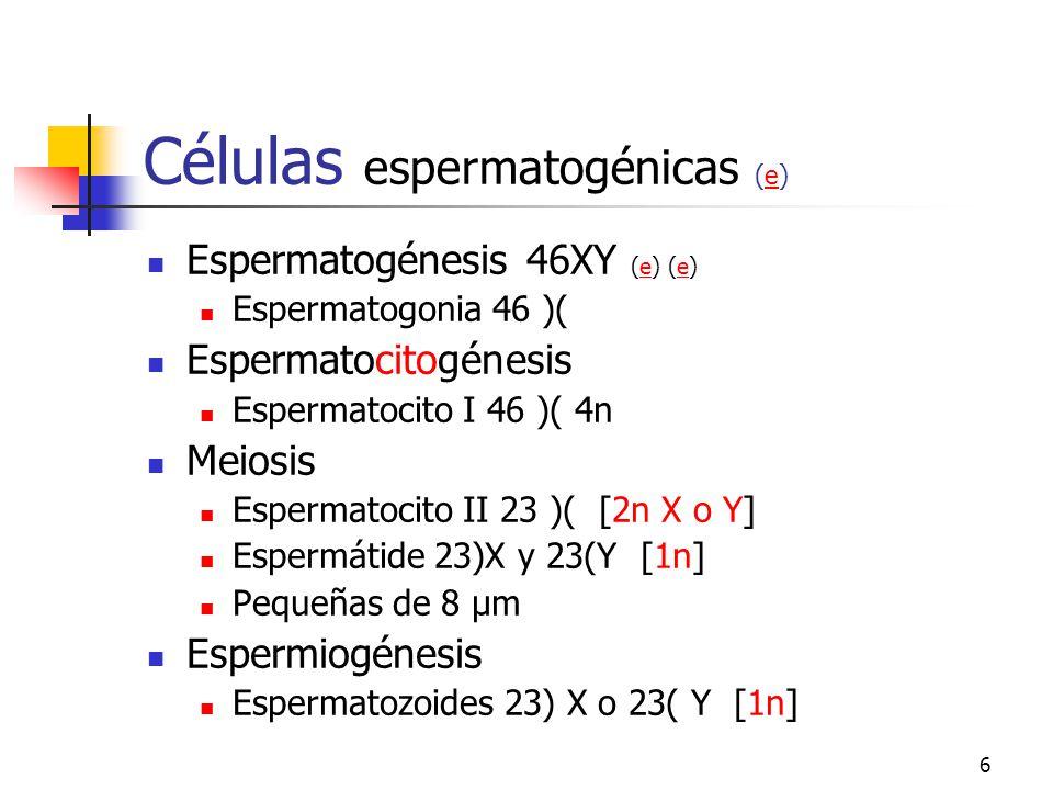 Células espermatogénicas (e)