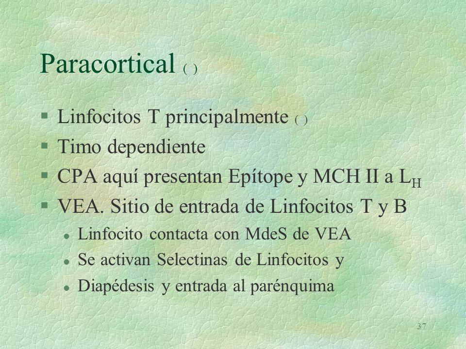 Paracortical (e) Linfocitos T principalmente (e) Timo dependiente