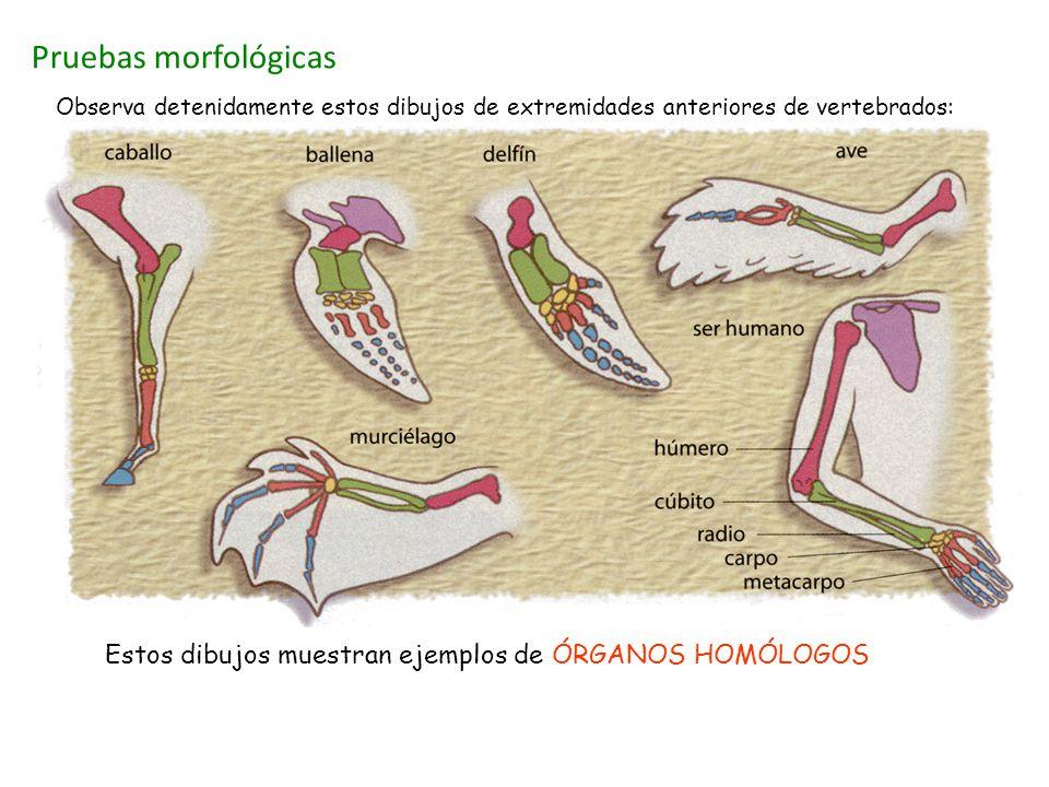 Pruebas morfológicas Observa detenidamente estos dibujos de extremidades anteriores de vertebrados: