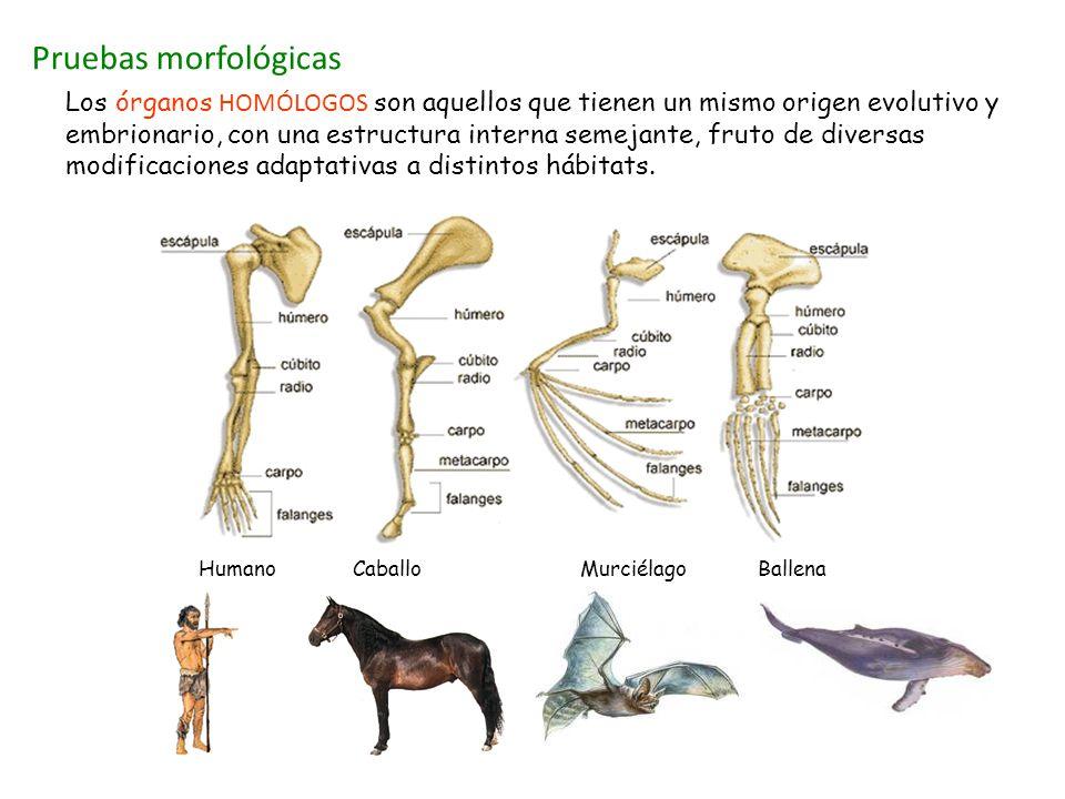 Pruebas morfológicas