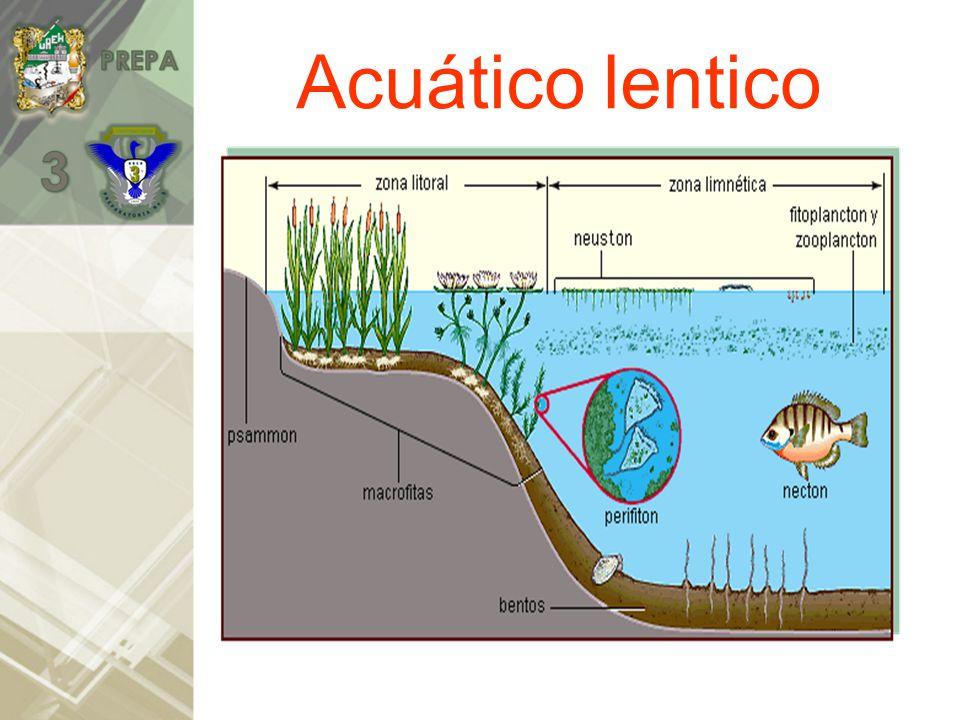 Acuático lentico