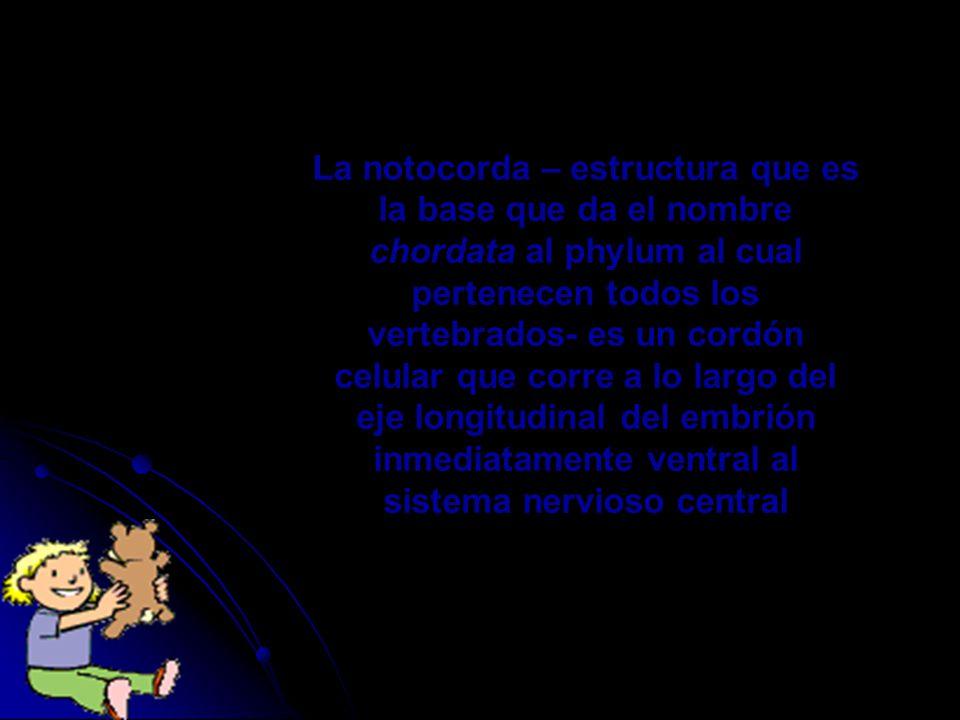La notocorda – estructura que es la base que da el nombre chordata al phylum al cual pertenecen todos los vertebrados- es un cordón celular que corre a lo largo del eje longitudinal del embrión inmediatamente ventral al sistema nervioso central