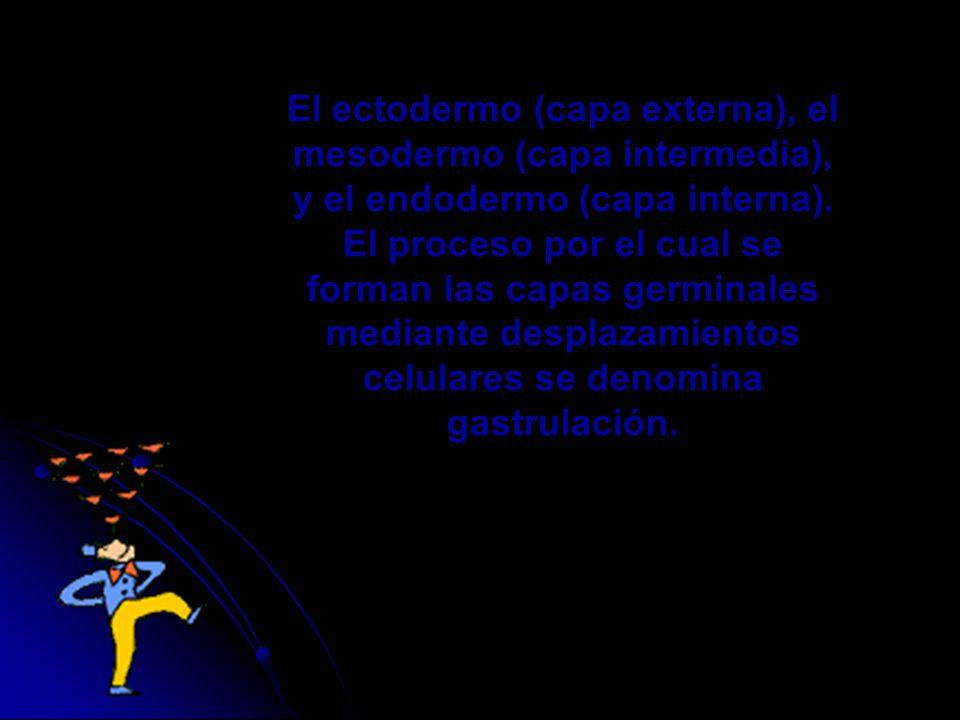 El ectodermo (capa externa), el mesodermo (capa intermedia), y el endodermo (capa interna).