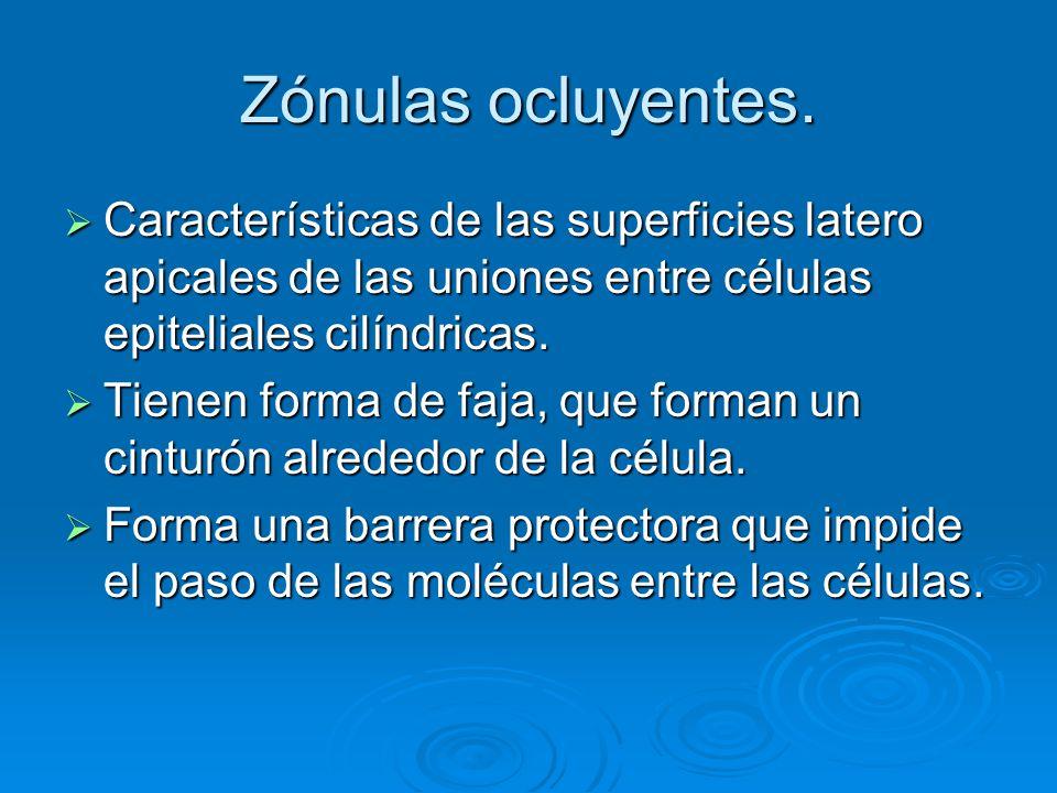 Zónulas ocluyentes. Características de las superficies latero apicales de las uniones entre células epiteliales cilíndricas.