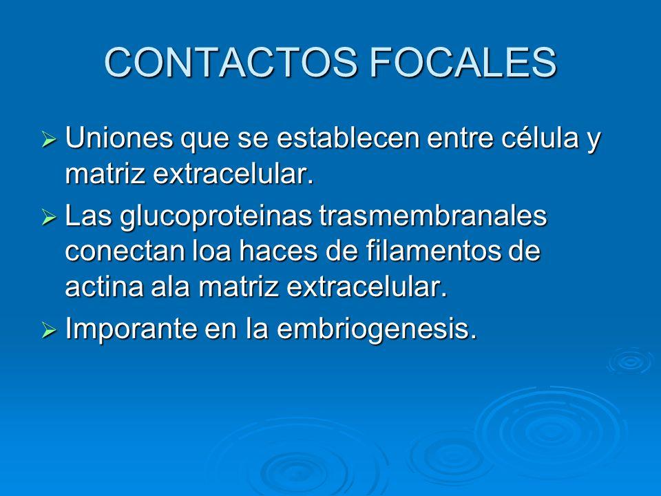 CONTACTOS FOCALES Uniones que se establecen entre célula y matriz extracelular.