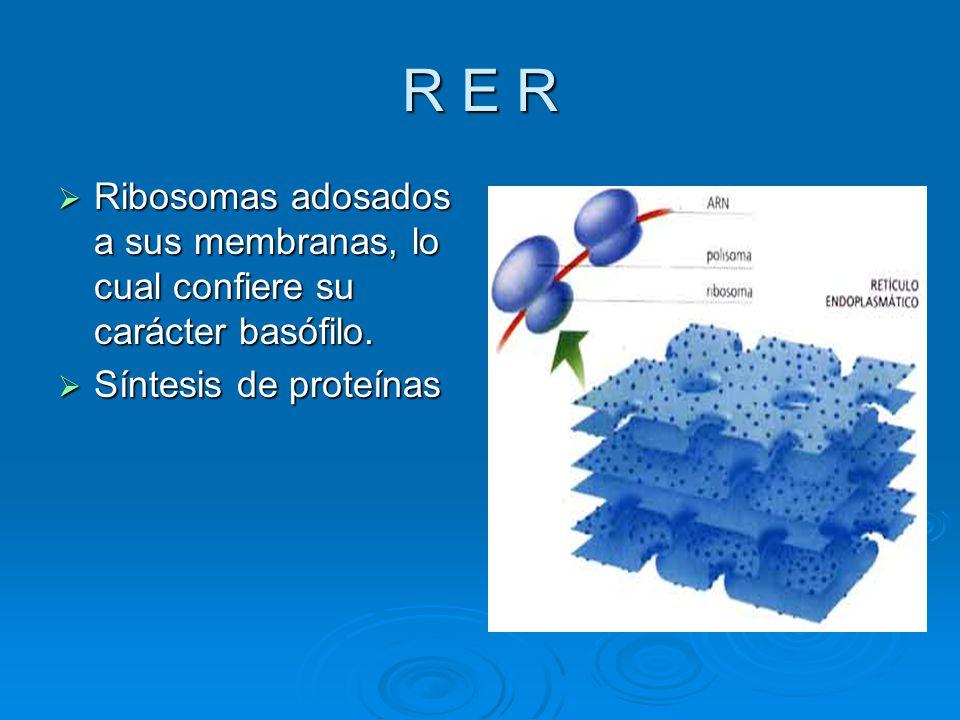 R E R Ribosomas adosados a sus membranas, lo cual confiere su carácter basófilo.