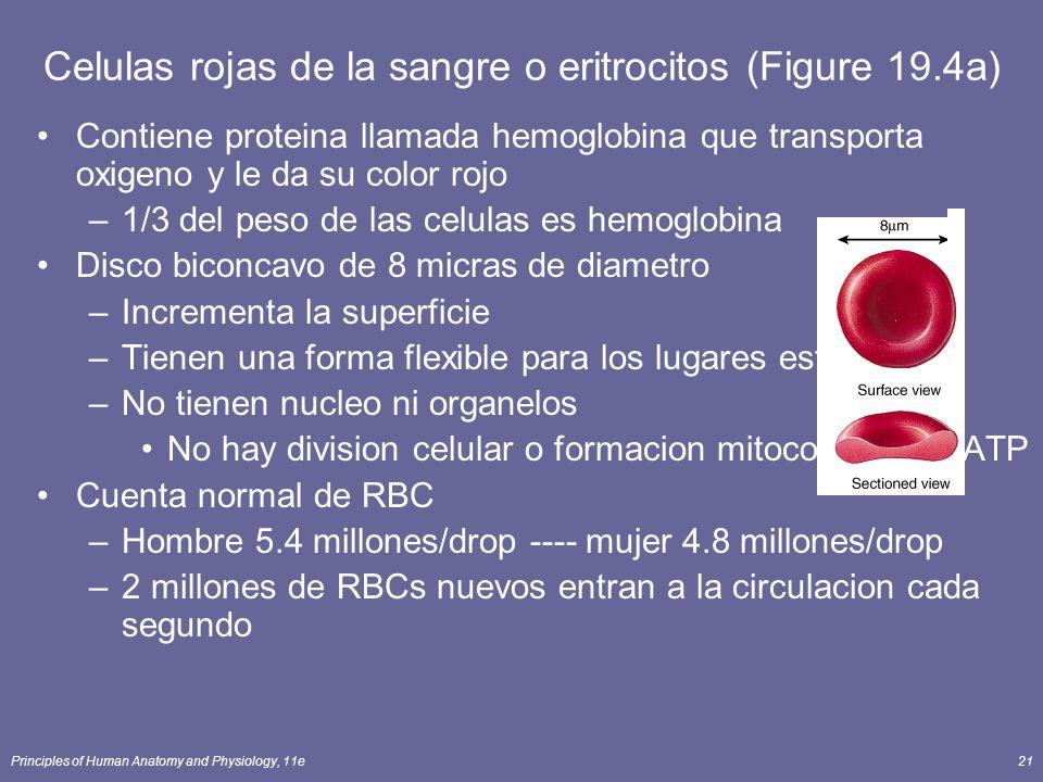 Celulas rojas de la sangre o eritrocitos (Figure 19.4a)