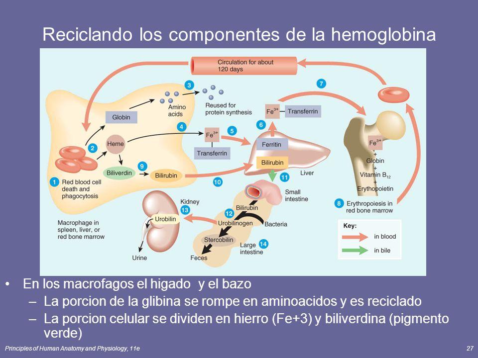 Reciclando los componentes de la hemoglobina