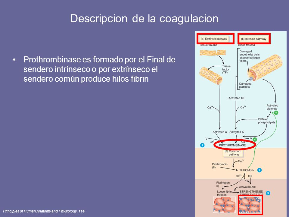 Descripcion de la coagulacion