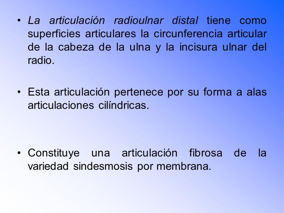 La articulación radioulnar distal tiene como superficies articulares la circunferencia articular de la cabeza de la ulna y la incisura ulnar del radio.