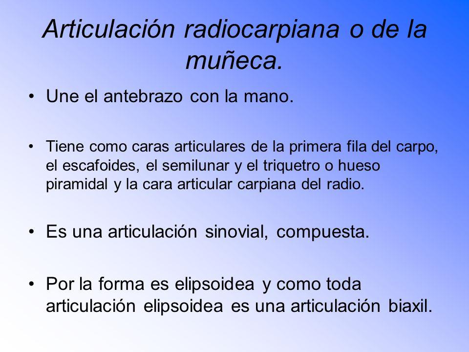 Articulación radiocarpiana o de la muñeca.