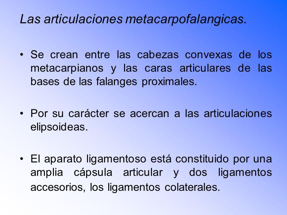 Las articulaciones metacarpofalangicas.