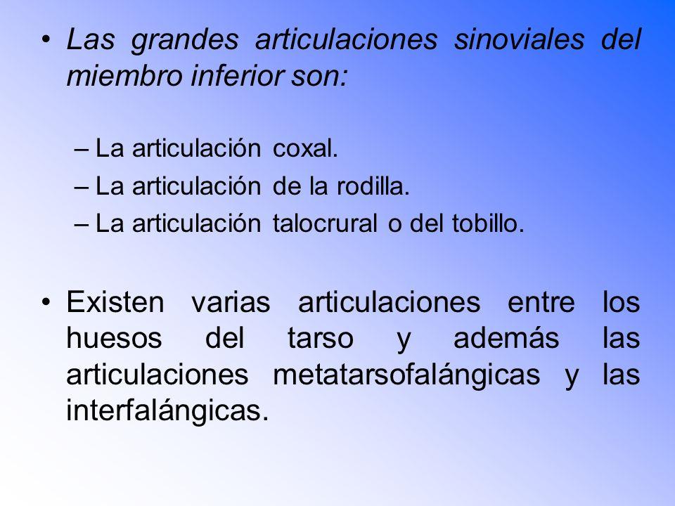 Las grandes articulaciones sinoviales del miembro inferior son: