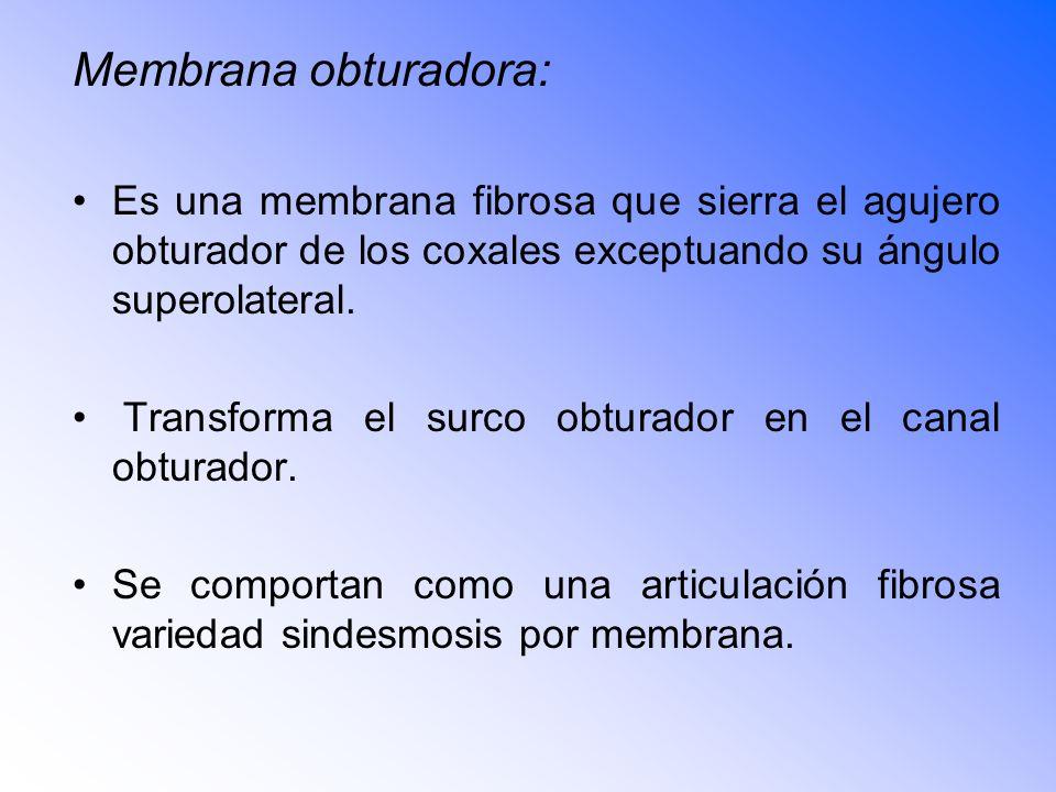 Membrana obturadora: Es una membrana fibrosa que sierra el agujero obturador de los coxales exceptuando su ángulo superolateral.