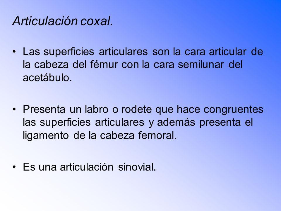 Articulación coxal. Las superficies articulares son la cara articular de la cabeza del fémur con la cara semilunar del acetábulo.