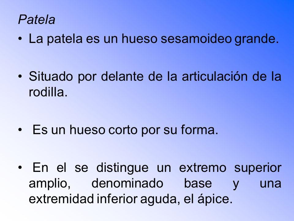 Patela La patela es un hueso sesamoideo grande. Situado por delante de la articulación de la rodilla.
