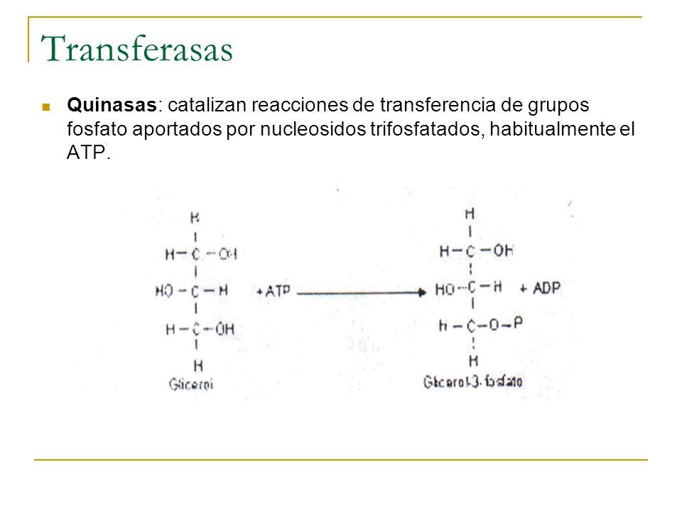 Transferasas Quinasas: catalizan reacciones de transferencia de grupos fosfato aportados por nucleosidos trifosfatados, habitualmente el ATP.