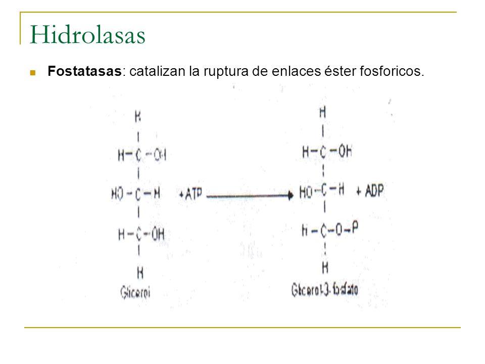Hidrolasas Fostatasas: catalizan la ruptura de enlaces éster fosforicos.