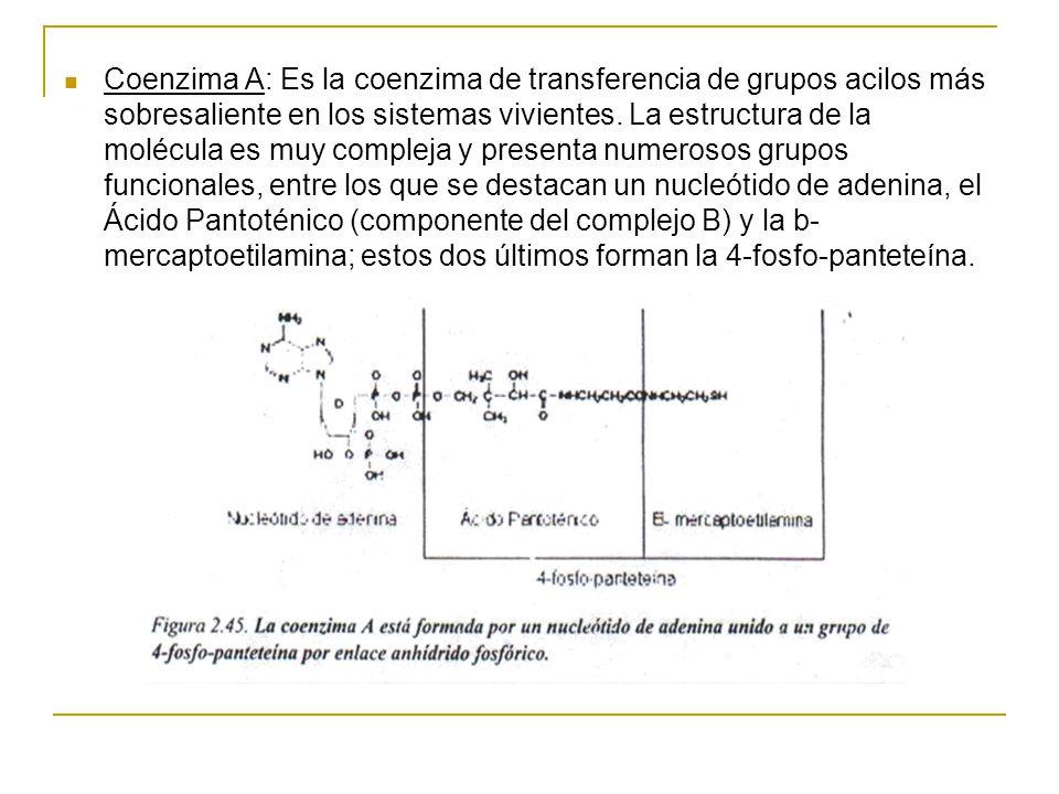 Coenzima A: Es la coenzima de transferencia de grupos acilos más sobresaliente en los sistemas vivientes.