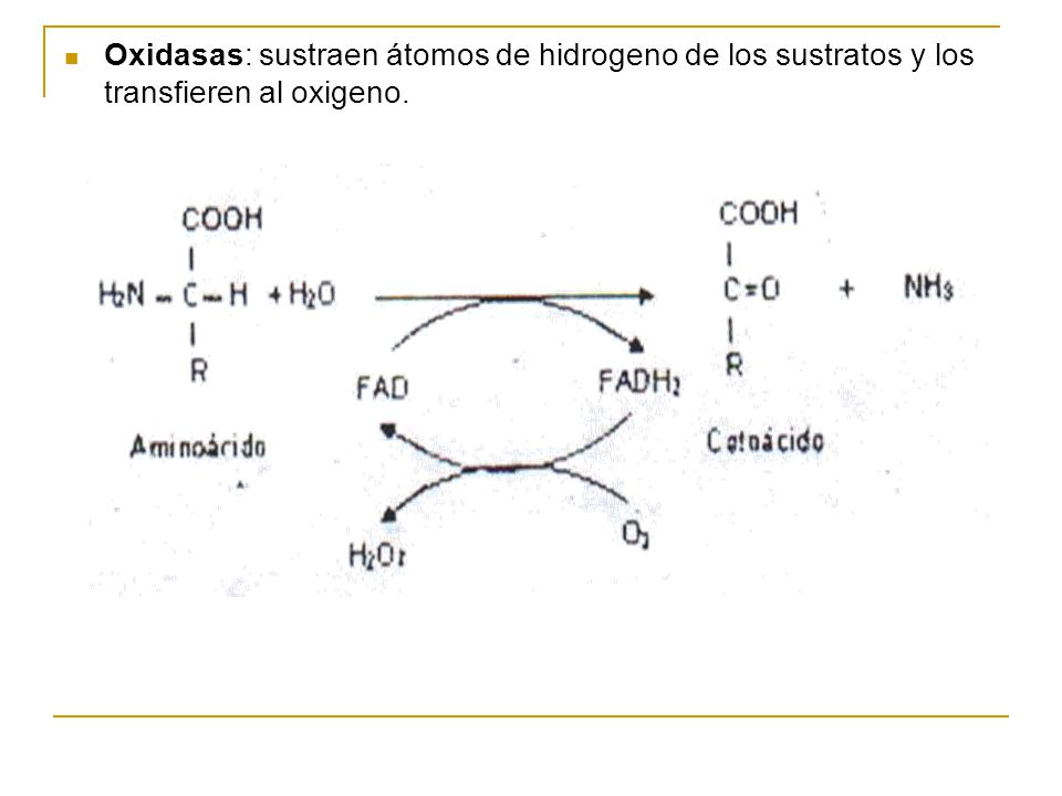 Oxidasas: sustraen átomos de hidrogeno de los sustratos y los transfieren al oxigeno.
