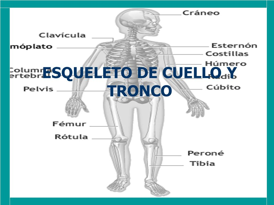 ESQUELETO DE CUELLO Y TRONCO - ppt video online descargar