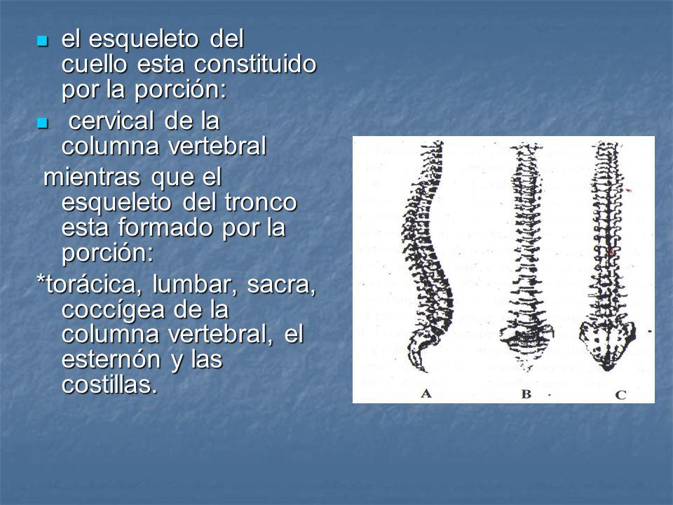 el esqueleto del cuello esta constituido por la porción: