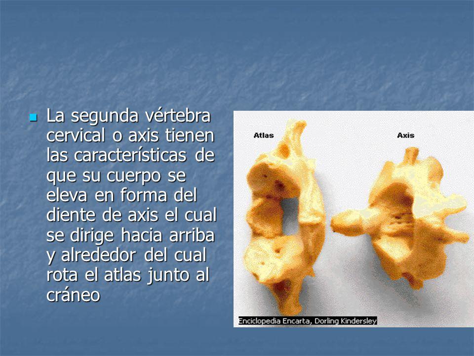 La segunda vértebra cervical o axis tienen las características de que su cuerpo se eleva en forma del diente de axis el cual se dirige hacia arriba y alrededor del cual rota el atlas junto al cráneo