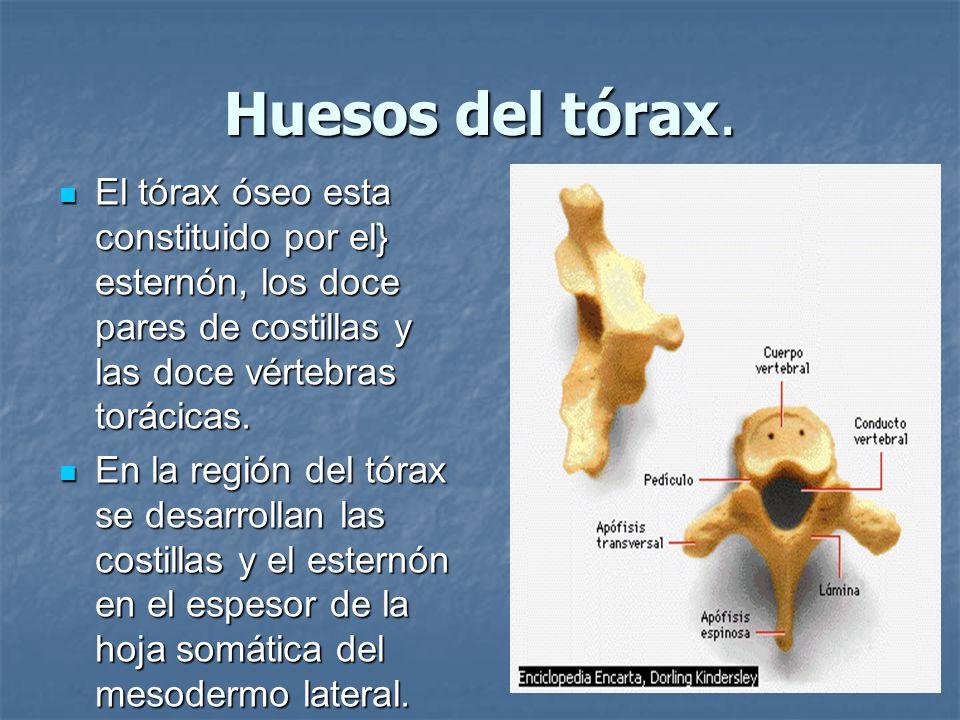 Huesos del tórax. El tórax óseo esta constituido por el} esternón, los doce pares de costillas y las doce vértebras torácicas.