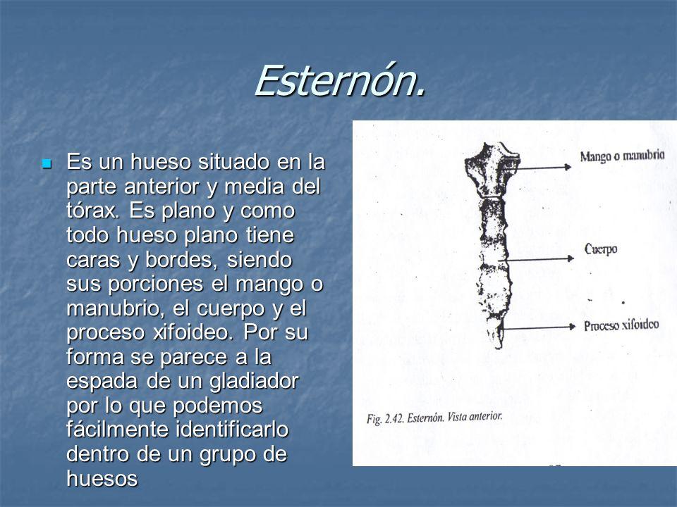 Esternón.