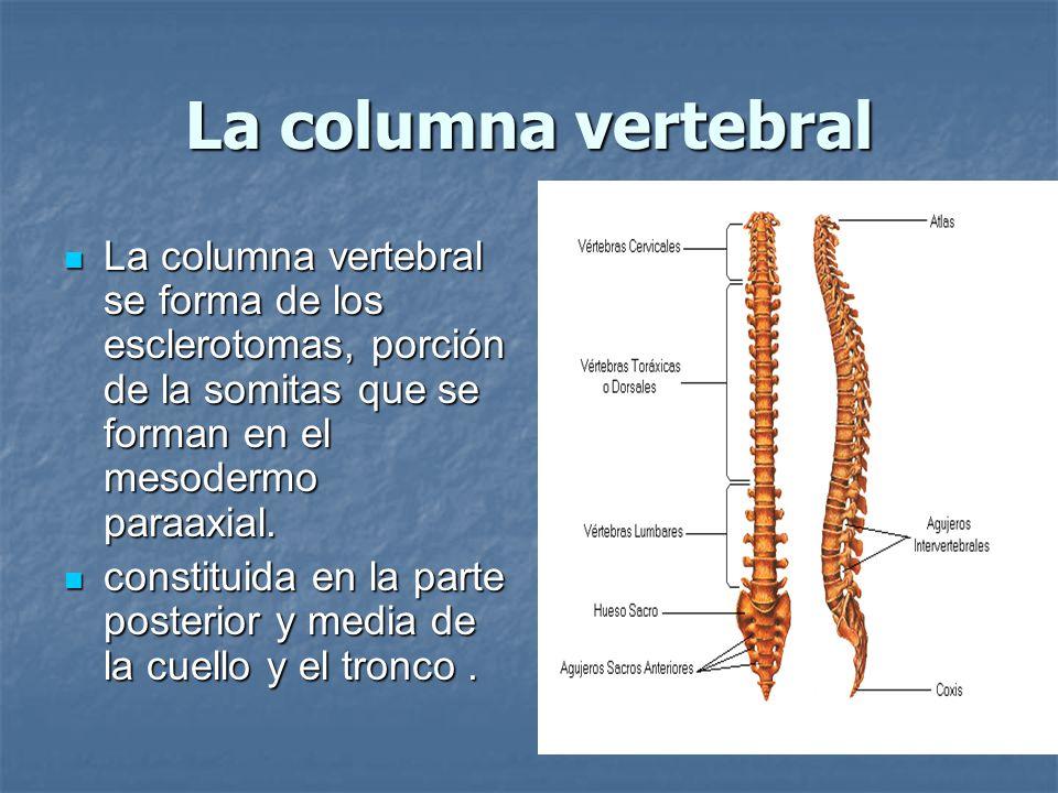 La columna vertebral La columna vertebral se forma de los esclerotomas, porción de la somitas que se forman en el mesodermo paraaxial.