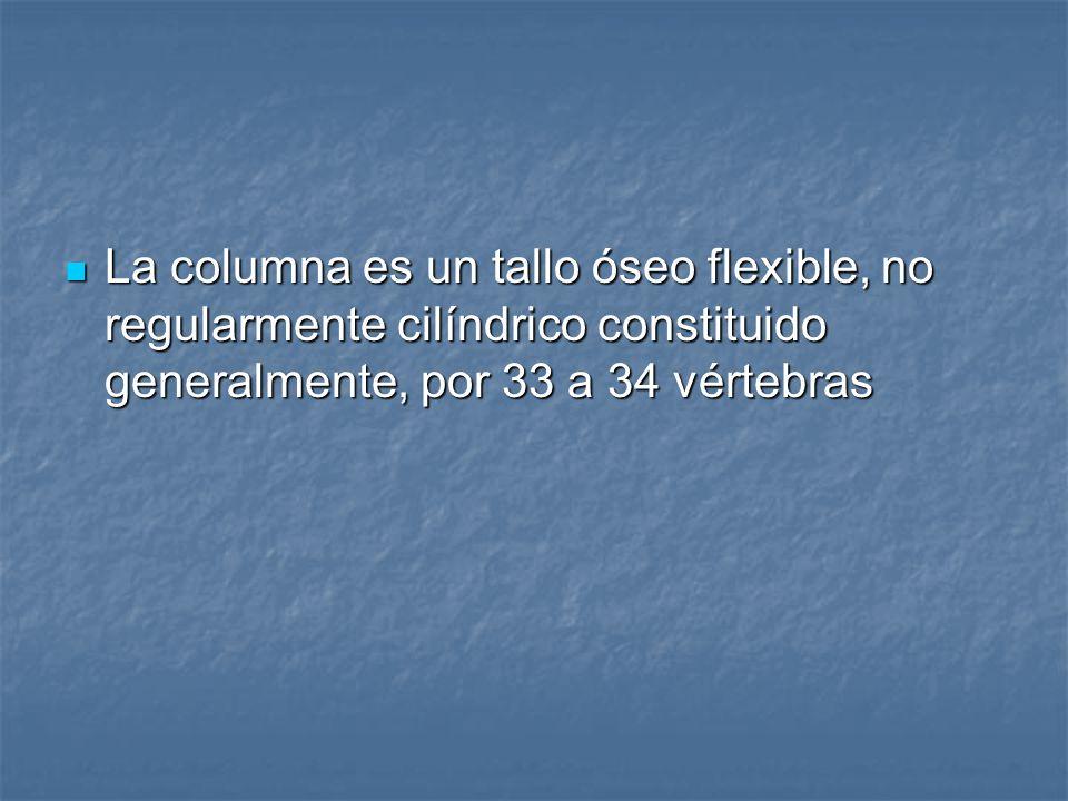 La columna es un tallo óseo flexible, no regularmente cilíndrico constituido generalmente, por 33 a 34 vértebras