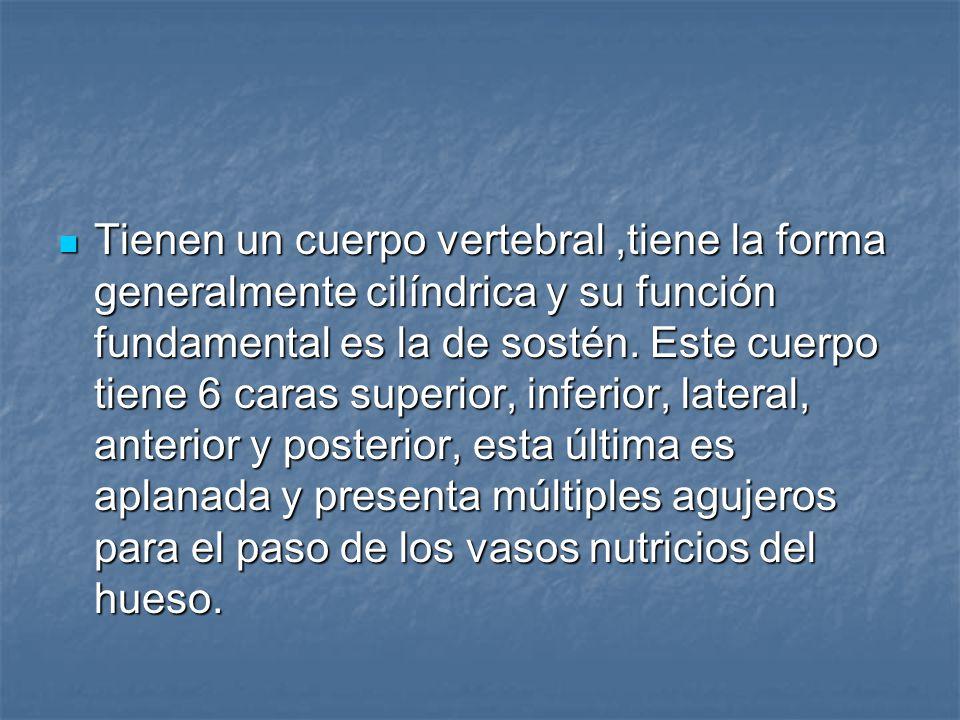 Tienen un cuerpo vertebral ,tiene la forma generalmente cilíndrica y su función fundamental es la de sostén.