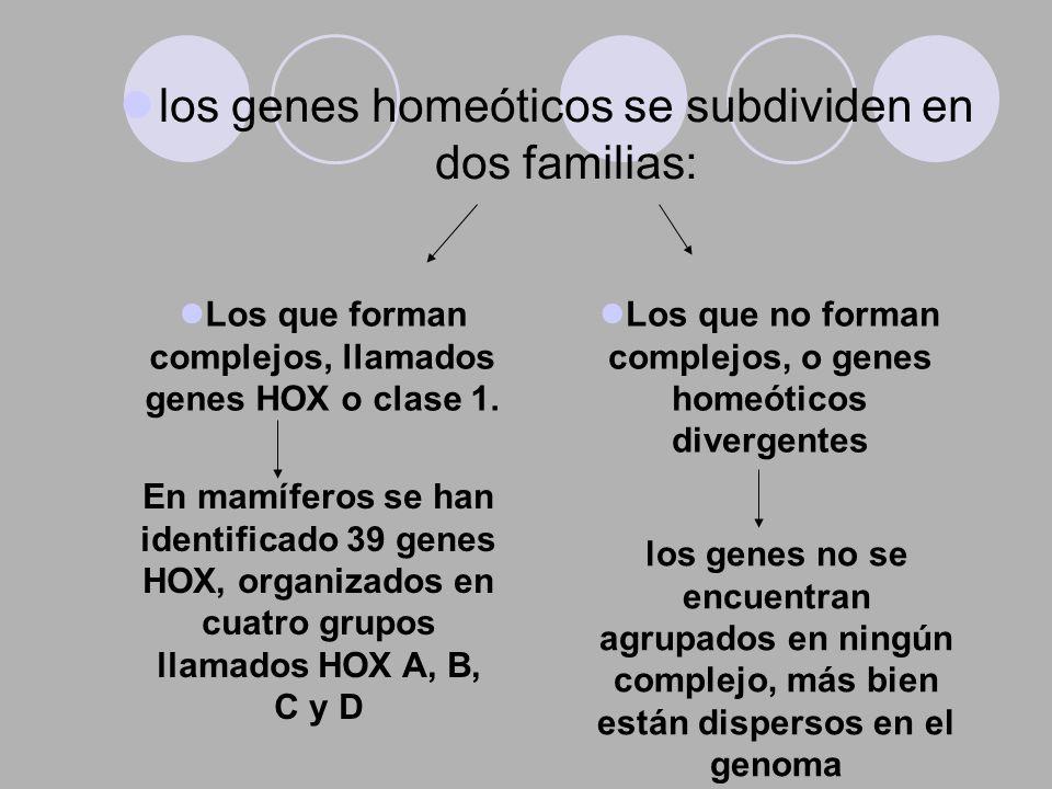 los genes homeóticos se subdividen en dos familias: