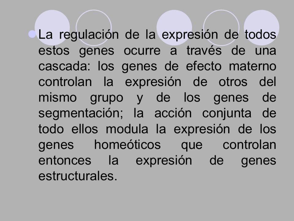 La regulación de la expresión de todos estos genes ocurre a través de una cascada: los genes de efecto materno controlan la expresión de otros del mismo grupo y de los genes de segmentación; la acción conjunta de todo ellos modula la expresión de los genes homeóticos que controlan entonces la expresión de genes estructurales.