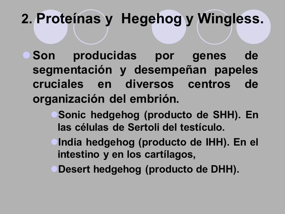 2. Proteínas y Hegehog y Wingless.