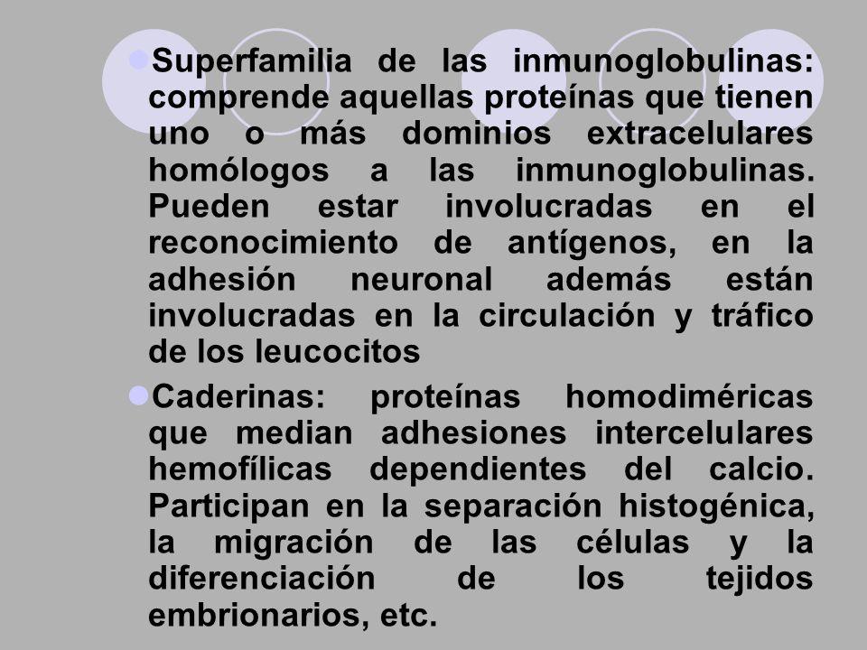 Superfamilia de las inmunoglobulinas: comprende aquellas proteínas que tienen uno o más dominios extracelulares homólogos a las inmunoglobulinas. Pueden estar involucradas en el reconocimiento de antígenos, en la adhesión neuronal además están involucradas en la circulación y tráfico de los leucocitos