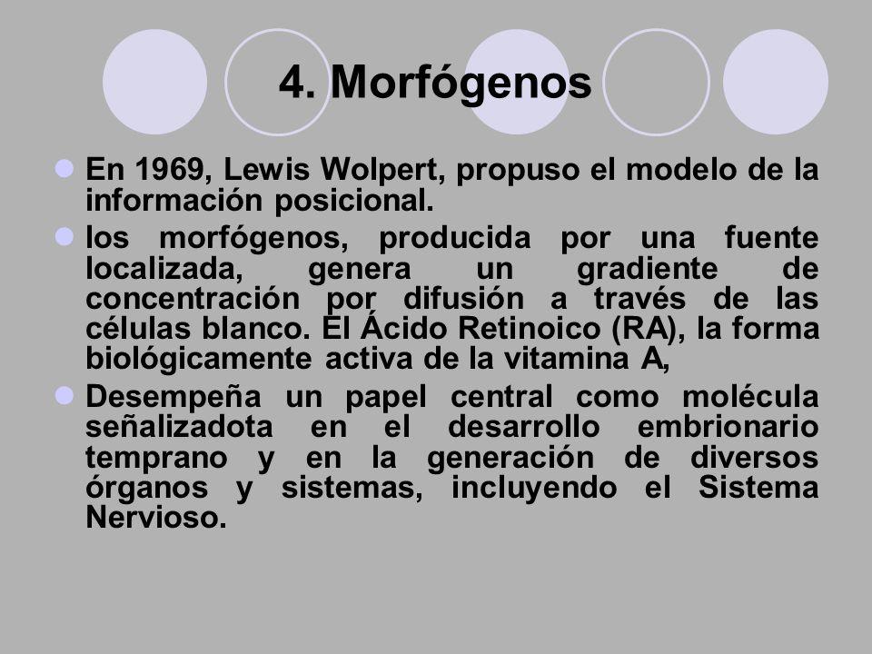 4. Morfógenos En 1969, Lewis Wolpert, propuso el modelo de la información posicional.