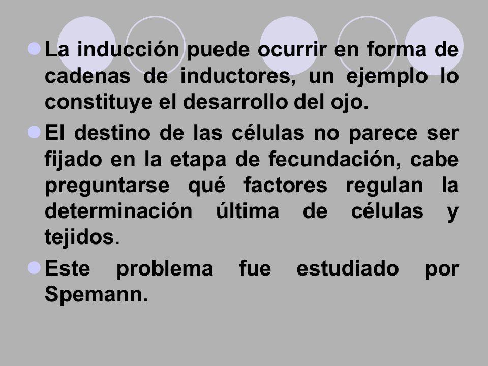 La inducción puede ocurrir en forma de cadenas de inductores, un ejemplo lo constituye el desarrollo del ojo.