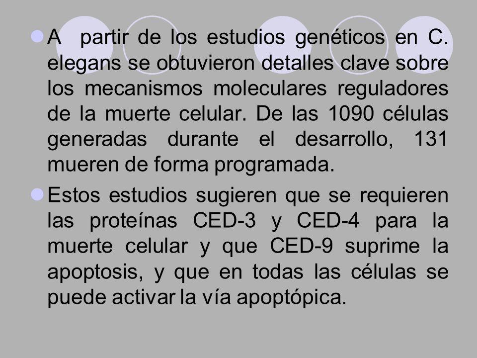 A partir de los estudios genéticos en C