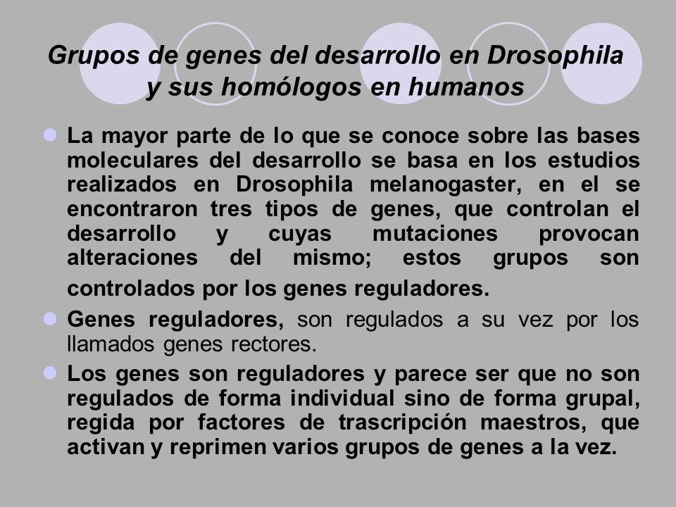 Grupos de genes del desarrollo en Drosophila y sus homólogos en humanos