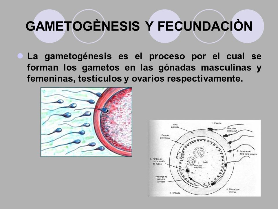 GAMETOGÈNESIS Y FECUNDACIÒN