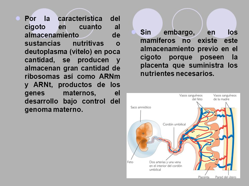 Por la característica del cigoto en cuanto al almacenamiento de sustancias nutritivas o deutoplasma (vitelo) en poca cantidad, se producen y almacenan gran cantidad de ribosomas así como ARNm y ARNt, productos de los genes maternos, el desarrollo bajo control del genoma materno.