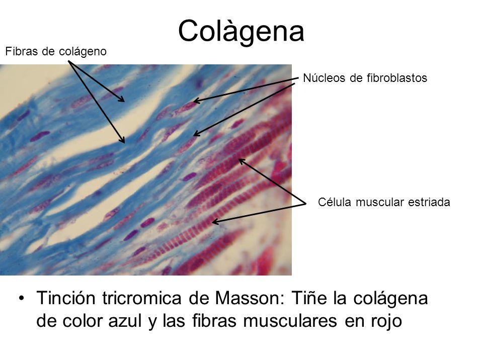 Colàgena Fibras de colágeno. Núcleos de fibroblastos. Célula muscular estriada.