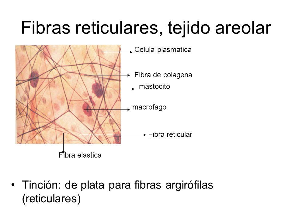 Fibras reticulares, tejido areolar