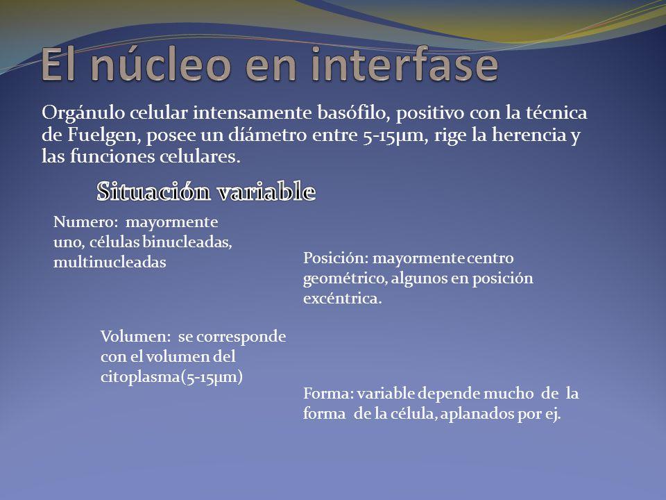 El núcleo en interfase Situación variable