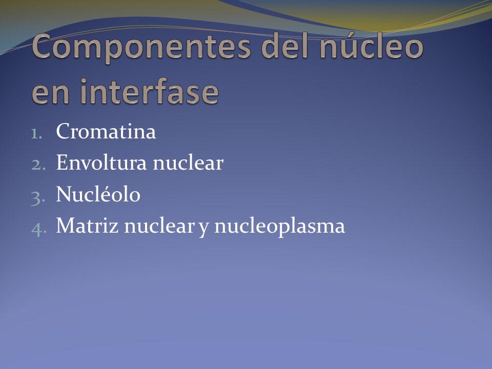 Componentes del núcleo en interfase