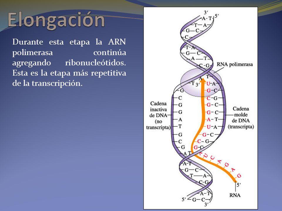 Elongación Durante esta etapa la ARN polimerasa continúa agregando ribonucleótidos.