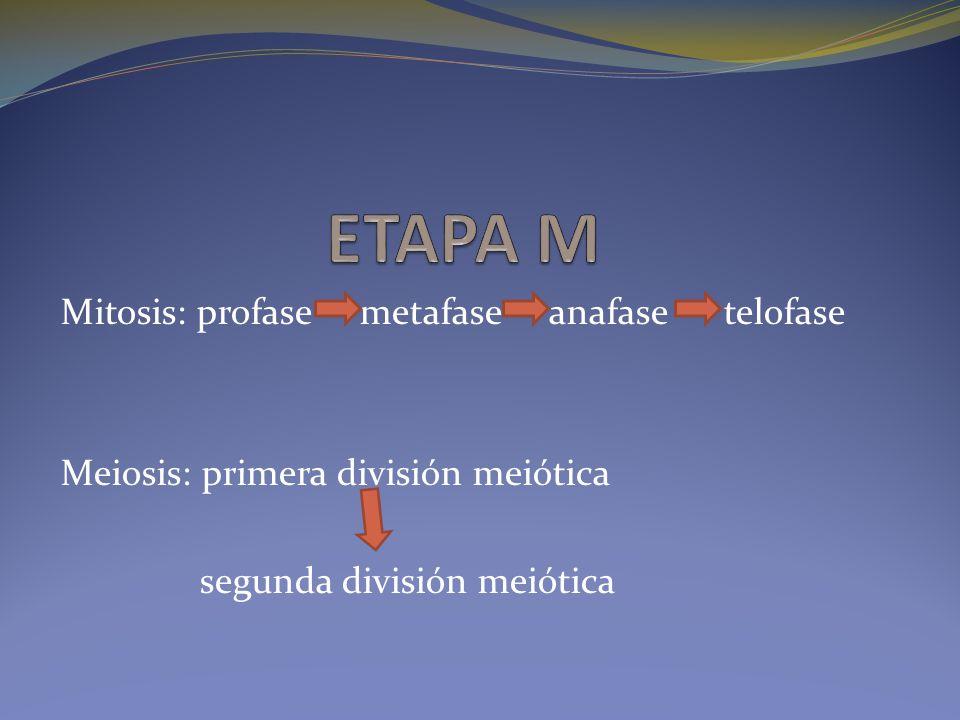 ETAPA M Mitosis: profase metafase anafase telofase