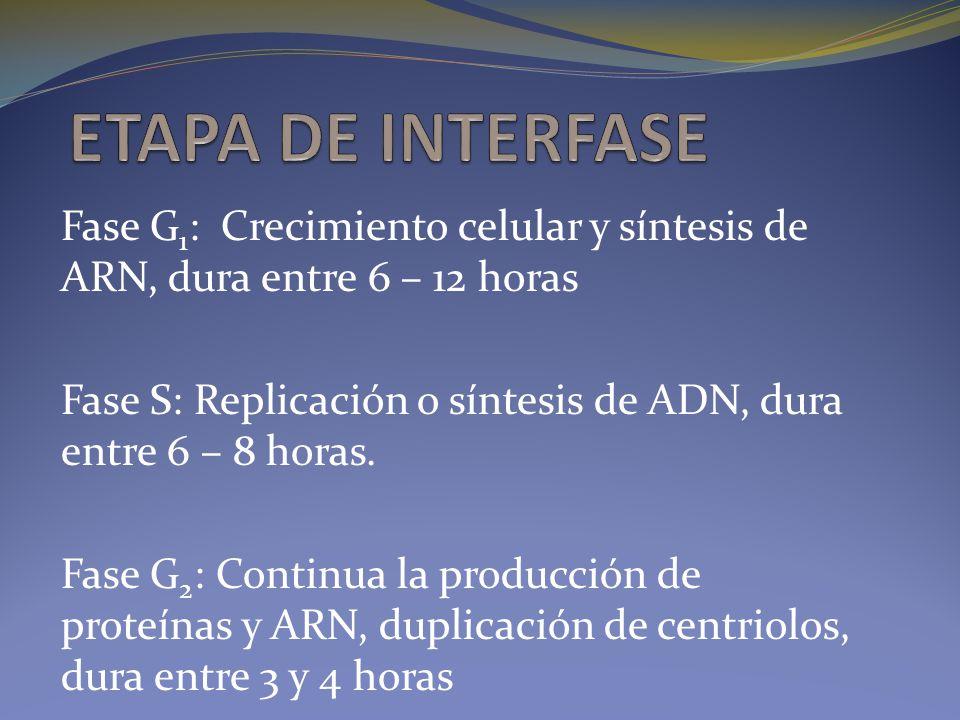 ETAPA DE INTERFASE Fase G1: Crecimiento celular y síntesis de ARN, dura entre 6 – 12 horas.