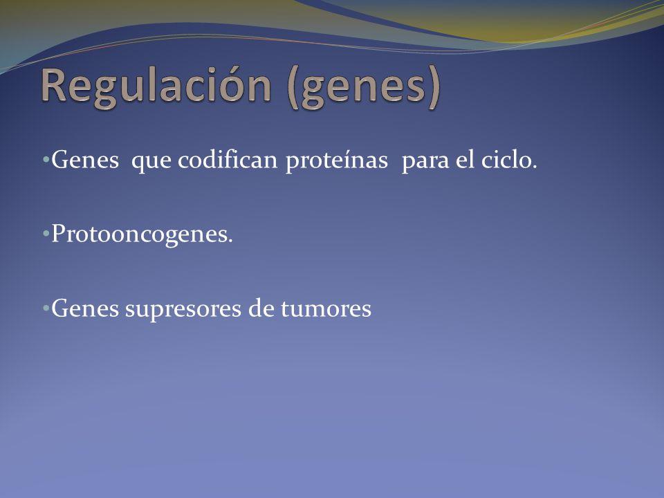 Regulación (genes) Genes que codifican proteínas para el ciclo.